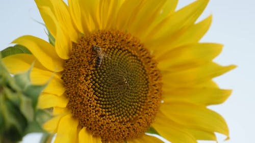 Close-up of bee over  sunflower   3840X2160 UltraHD footage - Helianthus plant with insect in the fi