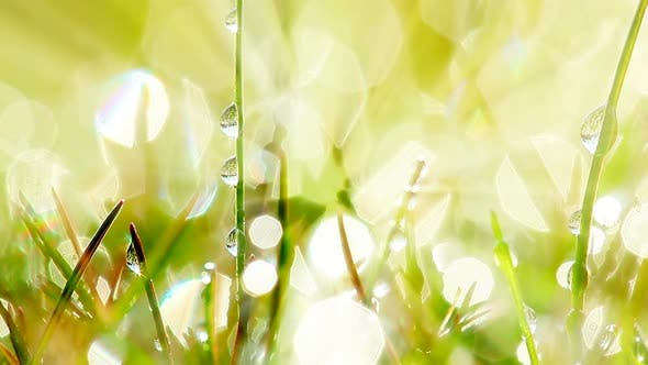 Cover Image for green grass and drops of morning dew
