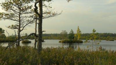 Pine on the Island