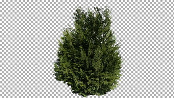 Thumbnail for Real Coniferous Plant Isolated 1