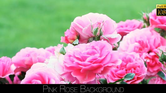 Thumbnail for Rose Background