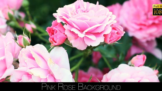 Cover Image for Rose Background 3