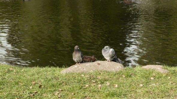 Thumbnail for Tauben auf dem Stein