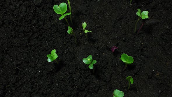 Young Green Sprouts On Organic Soil