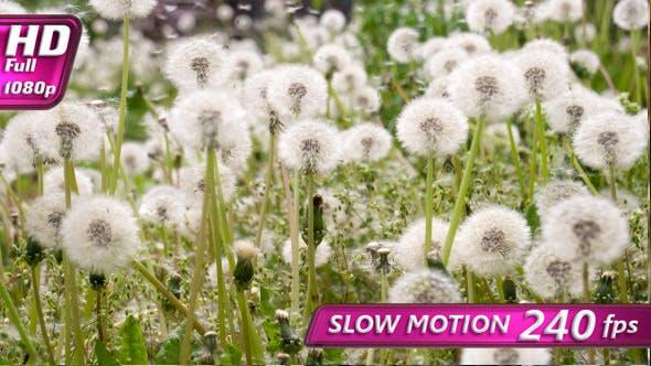 Thumbnail for Slow Flight of Dandelion Seeds