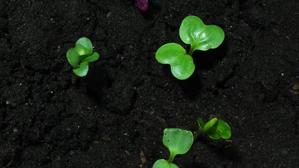 Thumbnail for Young Green Sprouts On Black Organic Soil