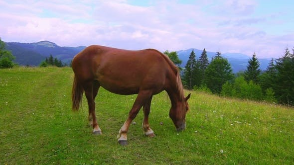 Thumbnail for Horse Grazing in a Meadow.
