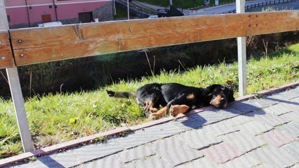 Thumbnail for Homeless Dog Lying Beside The Road