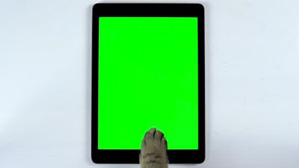 Thumbnail for The Cat Uses a Tablet. The Paw of a Cat Makes Swipe on the Tablet and Puts Likes. Tablet with a