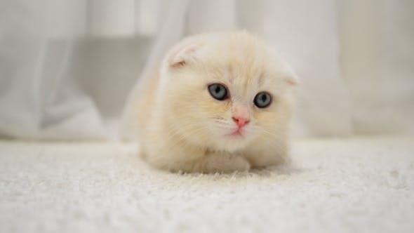 Thumbnail for Amusing Kitten Shakes His Head Lying On Carpet In