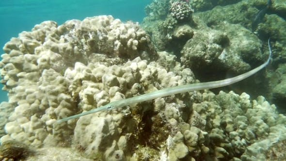 Thumbnail for Swimming Pipefish, Coral Reef Dweller