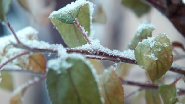 Thumbnail for The First Snow Falls On Leaves On a Tree