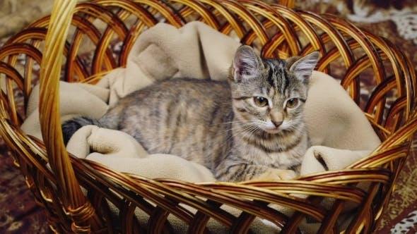 Thumbnail for Kitten Sitting In a Basket