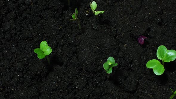 Young Sprouts On Black Organic Soil