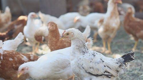 Breeding Hens