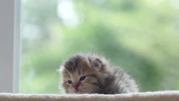 Close Up Of Cute Newborn Kitten Looking At Camera