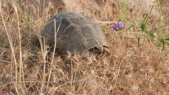 Thumbnail for Lonesome Tortoise