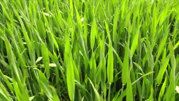 Thumbnail for Green Wheat On The Field