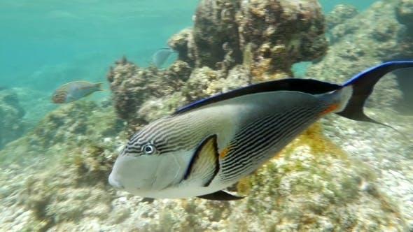 Thumbnail for Sohal Surgeon-Fish