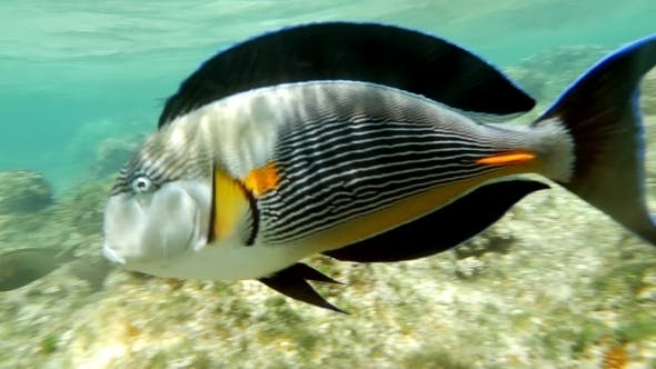 Thumbnail for Sohal Surgeonfish On The Coral Reef