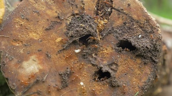 Thumbnail for Ant Colony Living In Rotten Wood