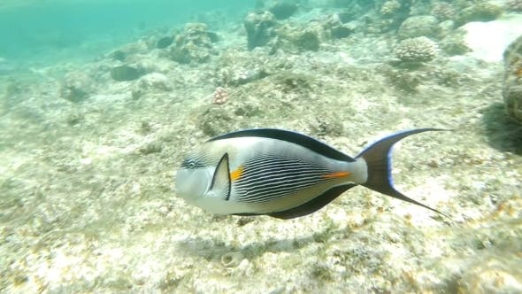 Thumbnail for Shohal Surgeon Fish Acanthurus Sohal