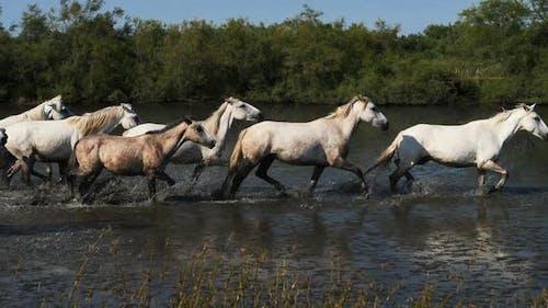 White Camargue horses in the Camargue marshlands