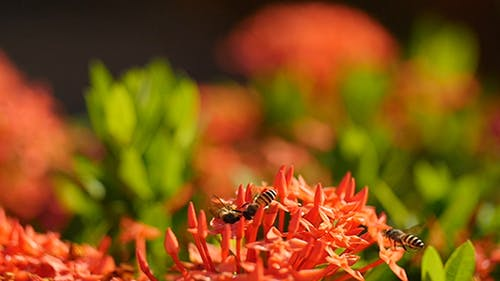 Bee and Ixora Flower 03