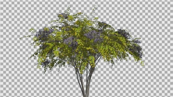 Thumbnail for Japanese Angelica Tree Bush Blue Inflorescences