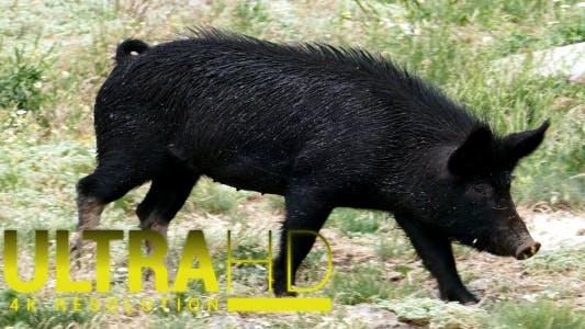 Thumbnail for Wild Pigs 8