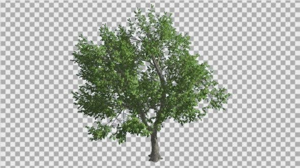 Thumbnail for Green Ash Tree Thin Trunk Fluttering Green Leaves