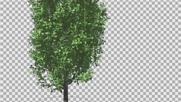 Thumbnail for Cypress Oak Tree Green Swaying Branches Leaves