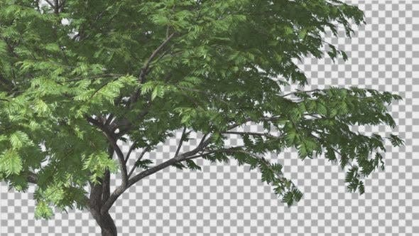 Thumbnail for Hook-Thorn Tree Green Fluttering Leaves Swaying