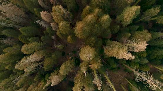 Thumbnail for Breathtaking Scenery of the Tall and Wide-crowned Trees, Aerial Drone
