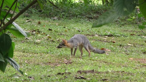 Gray Fox Adult Lone Foraging Looking For Food Dry Season in Belize