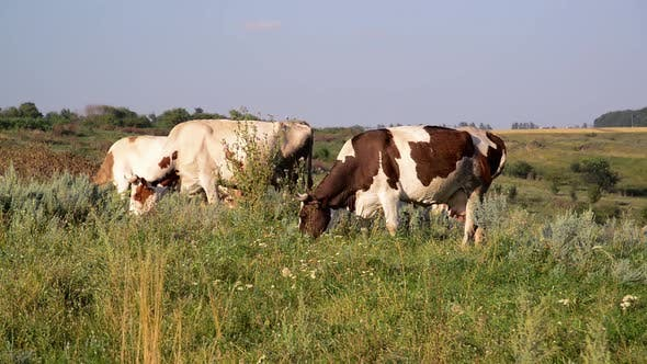 Thumbnail for Cow Nibbling the Grass in Meadow