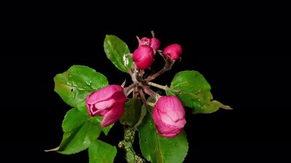 Thumbnail for Peach Tree Blossom Macro Timelapse on Black
