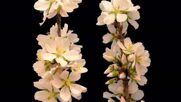 Thumbnail for Almond Blossom Timelapse Isolated 5