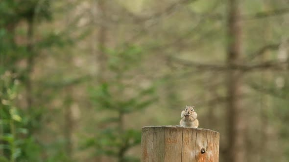 Thumbnail for A Small Chipmunk Eats a Seed Sitting on a Wooden Stump in the Forest of the Siberian Nature Reserve
