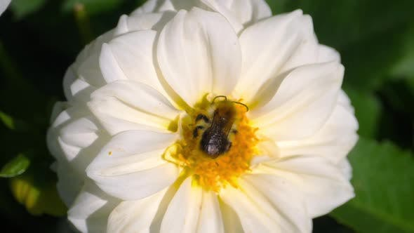 Cover Image for Bumblebee on Dahlia Flower