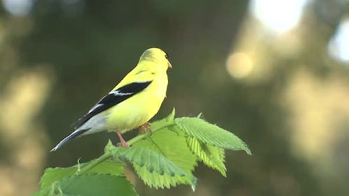 American Yellow Goldfinch Male Bird Perched Looking Around Summer
