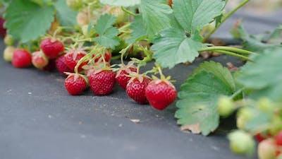 Organic Strawberries Growing on Farm