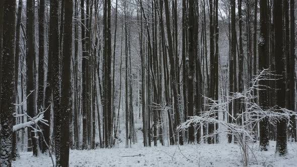 Flying in winter forest covered with fresh snow between trees.