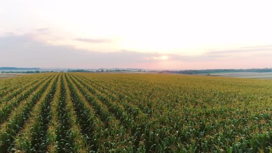 Thumbnail for Flying Over Corn Field Agriculture