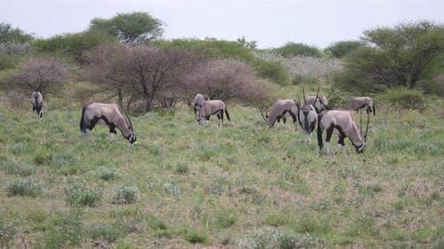 Herd of gemsbok in Central Kalahari Game Reserve