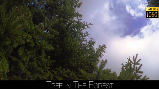 Thumbnail for Spruce In The Forest 4