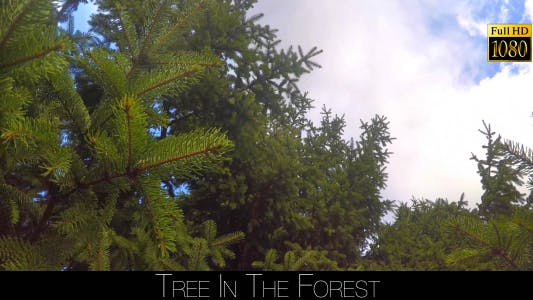 Thumbnail for Spruce In The Forest 8