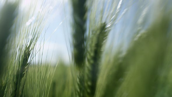 Thumbnail for Wheat Swaying In The Wind