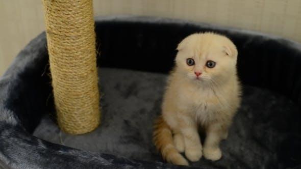 Thumbnail for Beige Kitten Sitting Around Scratching Posts