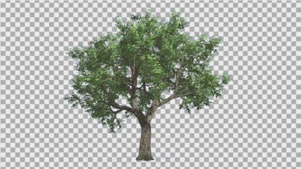 Thumbnail for Amur Cork Swaying Branches